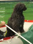 Wasserarbeit Portugiesischer Wasserhund Gustav