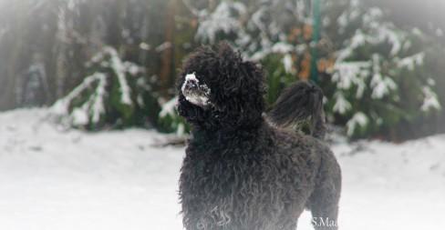 Portugiesischer Wasserhund Rüde